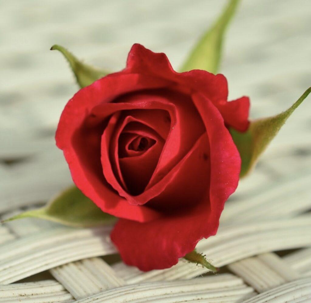 Une rose de la Saint-Valentin